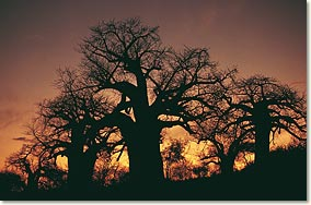 baobabs_limpopo