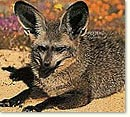 bat_eared_fox