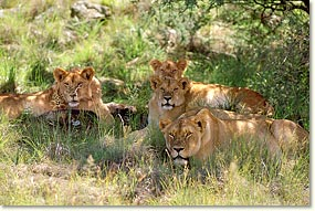 lion_ladies
