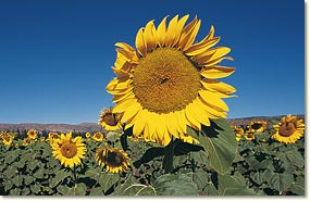nw_sunflowers